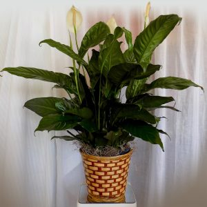 Medium Peace Lily in Basket