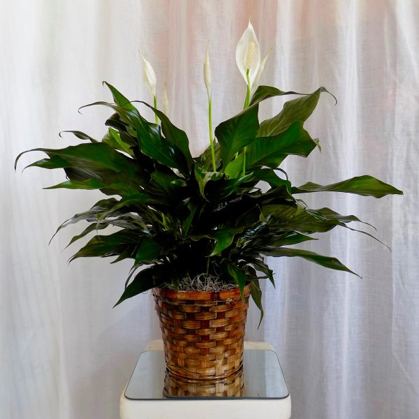 Small Peace Lily in Basket
