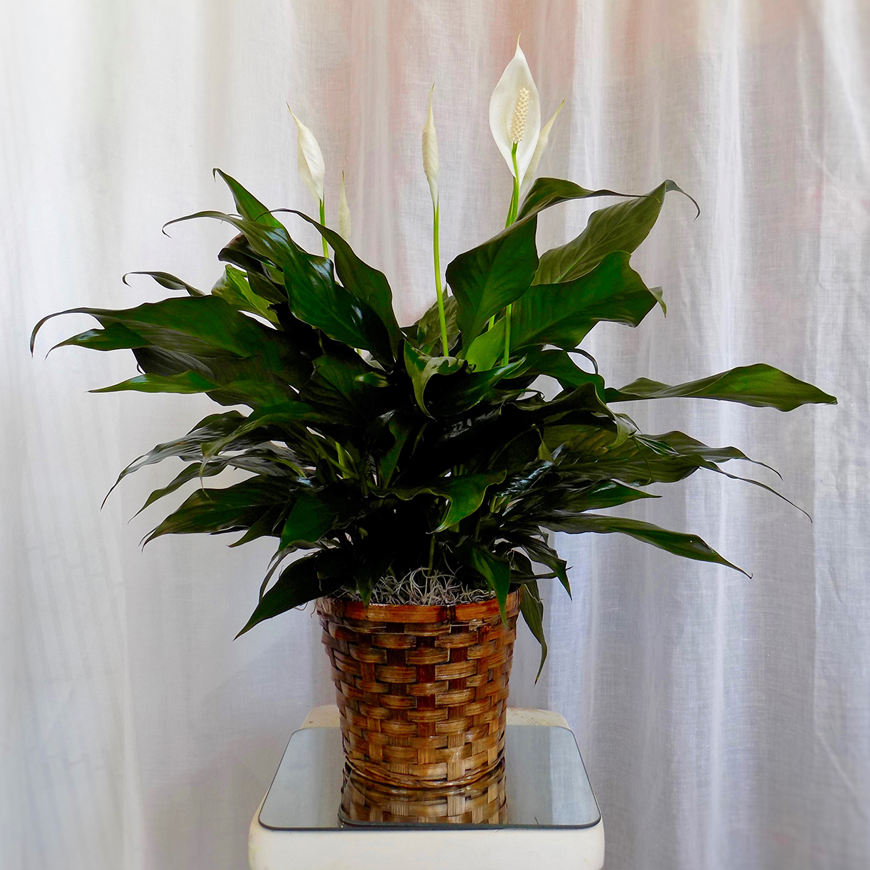 Peace lily in 6 basket werner harmsen funeral home of waupun peace lily reviewsmspy